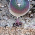 pigeon unijambiste||<img src=i.php?/galleries/animaux/DSC03678-th.jpg>