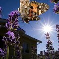 Papillon en macro au fish-eye||<img src=_data/i/galleries/macro/PICT0433-th.jpg>